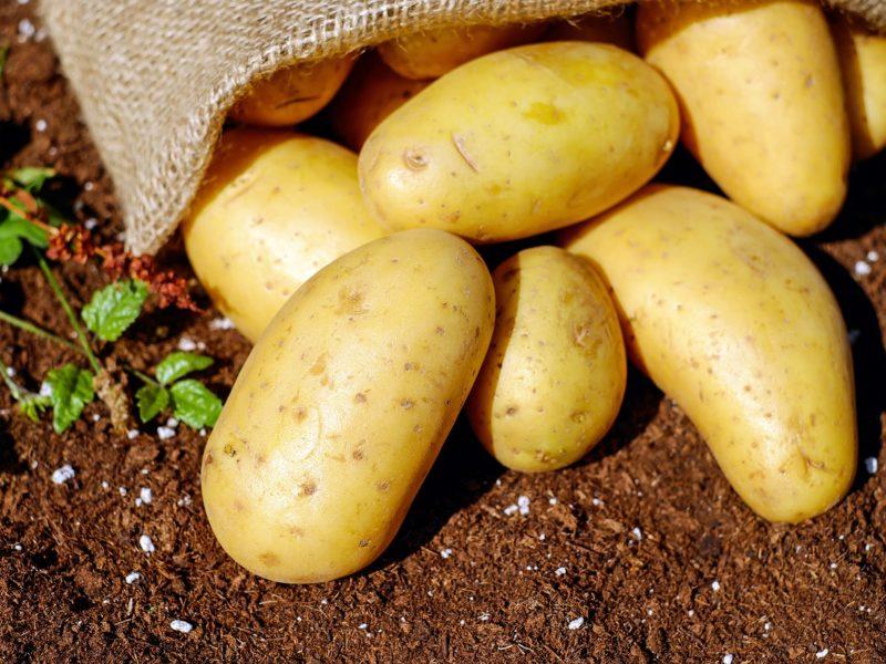 Kombajn do ziemniaków - zalety i wady użytkowania