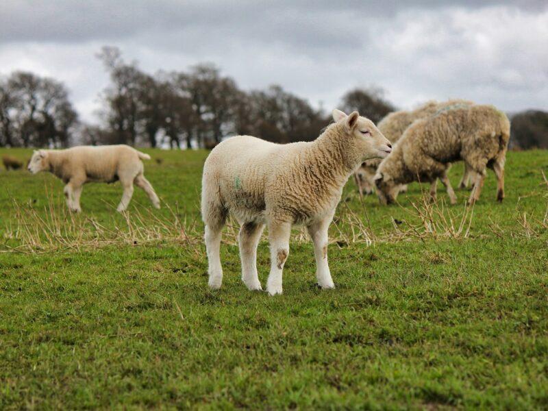 Hodowla owiec - jak na niej zarobić?