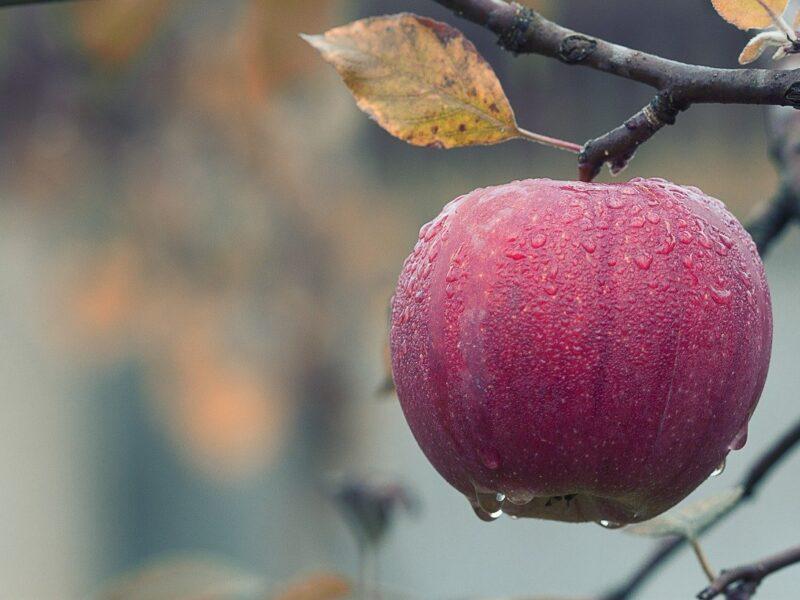 Jak wspomagać jabłonie jesienią?